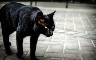 Черная кошка перебежала дорогу: слева направо, примета, что будет