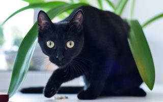 Черная кошка (кот): приметы и суеверия, откуда взялась и что символизирует?