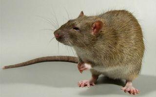 Крыса и змея: совместимость в любви, по гороскопу