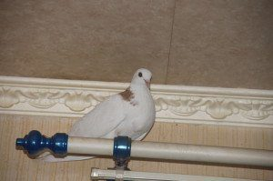 Птица залетела в дом: примета, к чему
