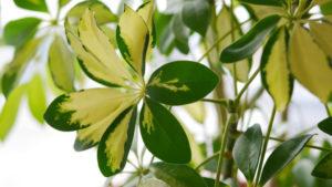 Цветок шеффлера: приметы и суеверия
