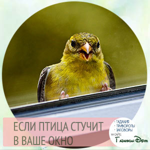 Птица стучит в окно: примета, к чему, что значит