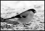 Приметы про снегирей: прилетели, увидеть