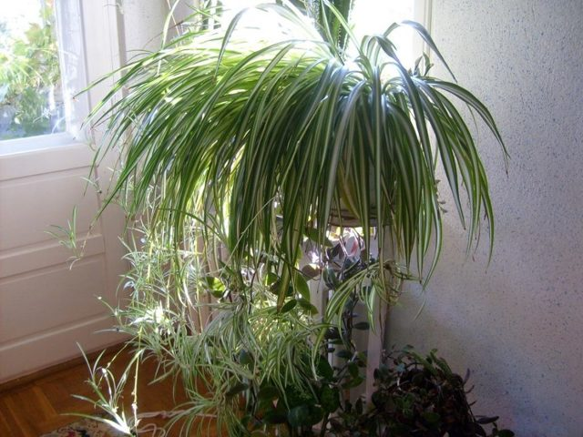 Хлорофитум: приметы и суеверия, можно ли держать дома