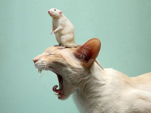 Кролик (Кот) и Крыса: совместимость в браке
