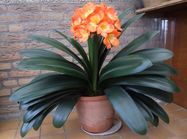 Кливия в доме: приметы и суеверия