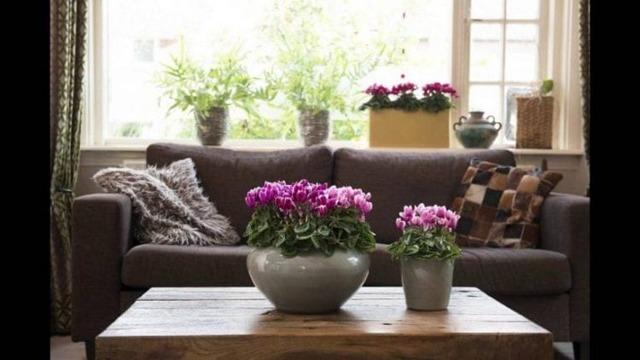 Цветок цикламен: приметы, для дома