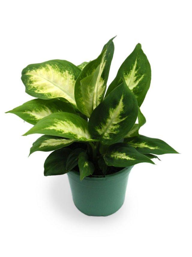 Цветок диффенбахия: приметы и суеверия, можно ли держать дома, вред для здоровья и польза растения, почему назвали мужегоном