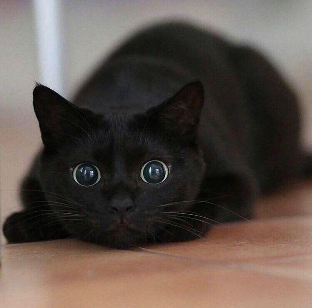 Черная кошка (кот): приметы и суеверия, откуда взялась