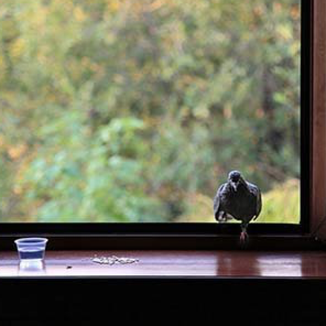 Примета: голубь сел на подоконник за окном, прилетел, к чему