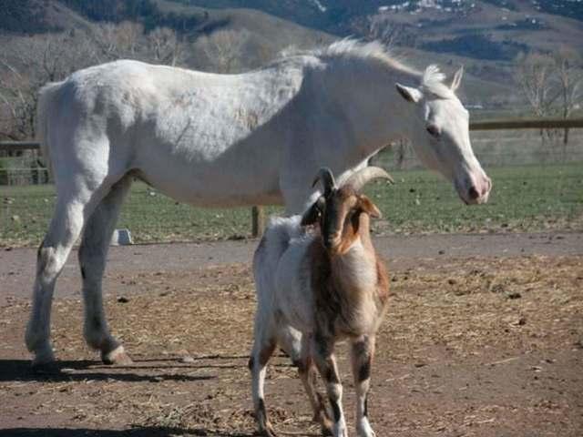 Лошадь и Коза: совместимость в любви и браке по гороскопу