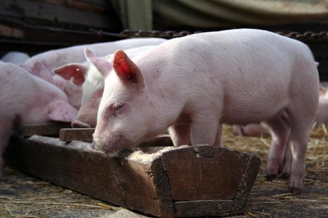 Крыса и Свинья: совместимость в браке