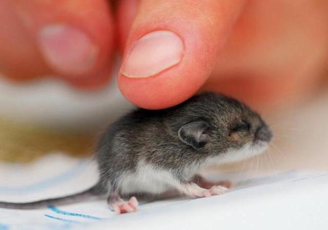 К чему снятся маленькие мыши: много, живые, серые, белые, черные, дохлые, в доме, толкование для женщины и мужчины