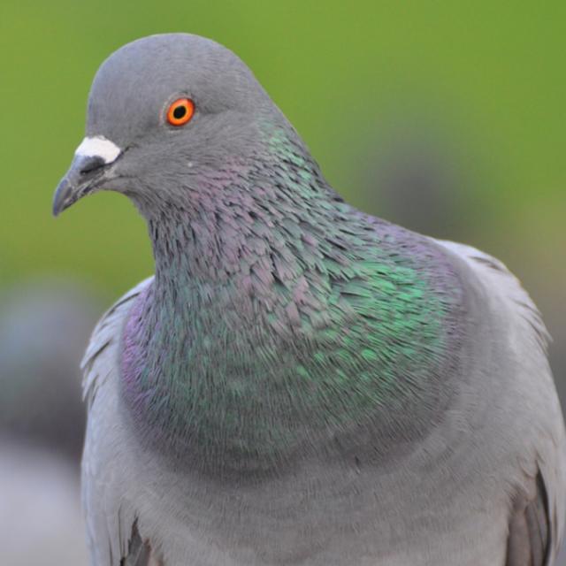 Птица врезалась в окно голубь