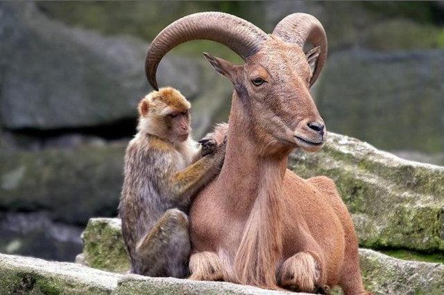 Коза и обезьяна: совместимость в любви