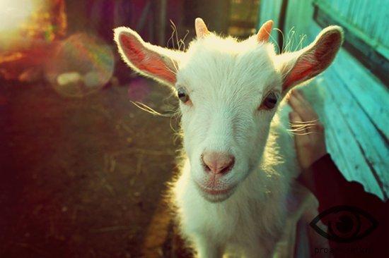 Петух и коза: совместимость в любви