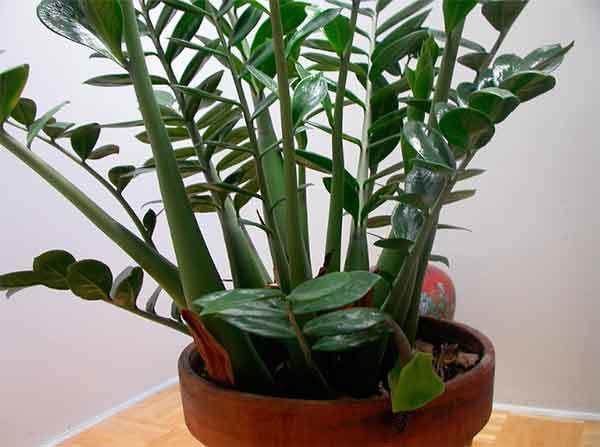 Долларовое дерево (замиокулькас): приметы и суеверия, к чему цветет, когда