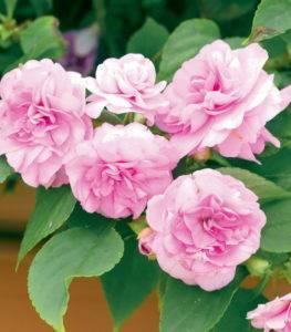 Цветок Ванька мокрый (бальзамин): приметы и суеверия
