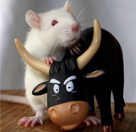 Бык и Крыса: совместимость в любви, по гороскопу