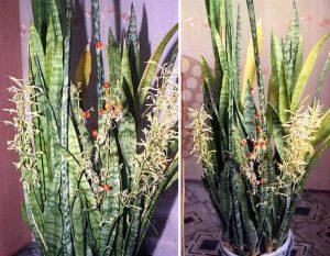 Цветок Тещин язык (Щучий хвост): приметы, суеверия, дома