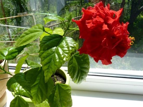 Китайская роза: приметы и суеверия, можно ли держать дома