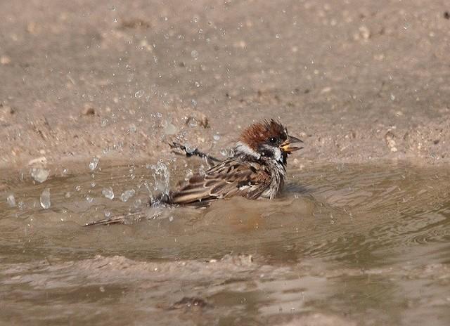 Примета: воробьи купаются в луже, пыли, песке