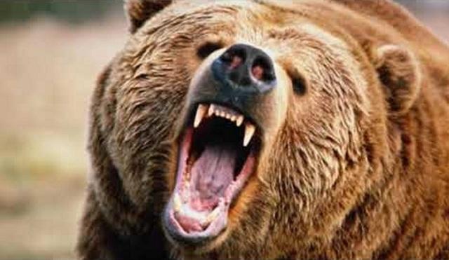 Коготь медведя: мощный оберег, значение, описание