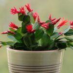 Цветок декабрист: приметы и суеверия, можно ли держать дома