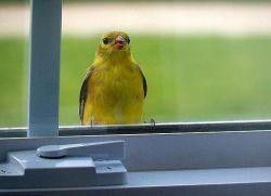 Синица залетела в окно, дом, на балкон: примета