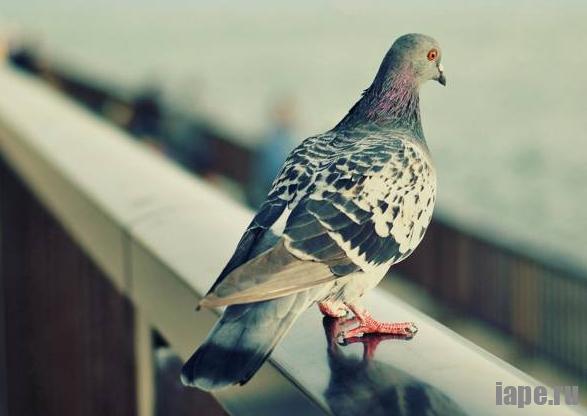 Примета: голубь залетел в окно, квартиру, к чему