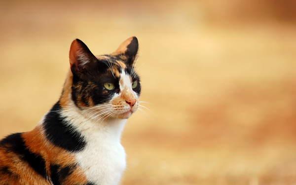 Трехцветная кошка в доме: приметы, к чему найти, что значит окрас и приносит ли счастье