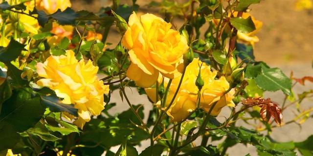 К чему дарят хризантемы: желтые, белые