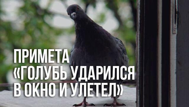 Примета: голубь ударился, стукнулся в окно и улетел, к чему
