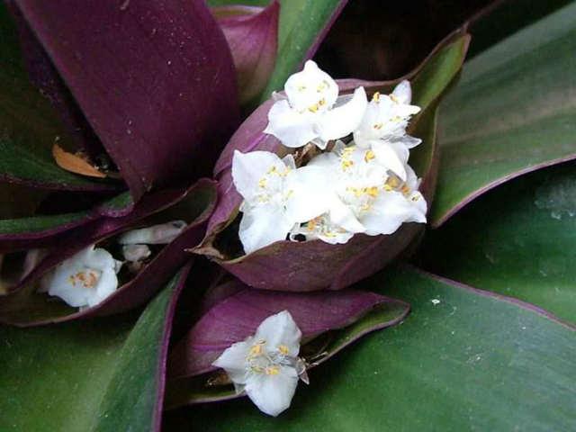 Приметы и суеверия о цветке Рео