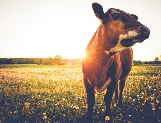 Что делать, если сглазили корову: как снять порчу, умыть от сглаза