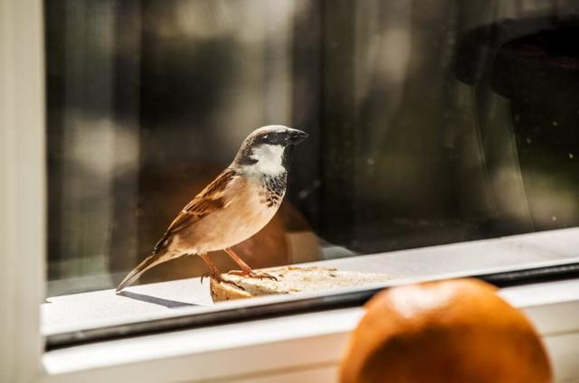 Воробей залетел в дом, окно: примета, к чему