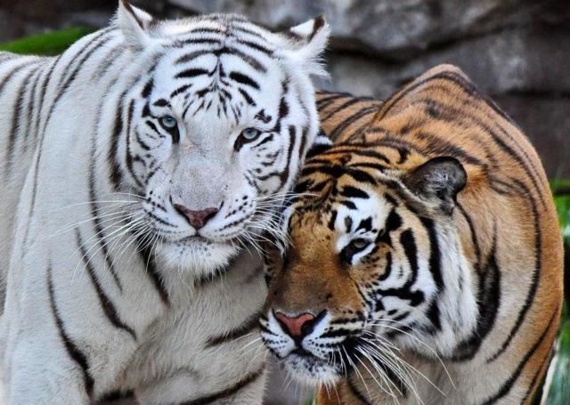 Тигр и Тигр: совместимость в любви и браке по гороскопу