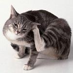 Блохи на кошке во сне: видеть, ловить, давить (убивать), сонник, толкование для женщины и мужчины