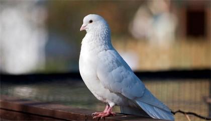 Примета: белый голубь на улице, окне, во дворе