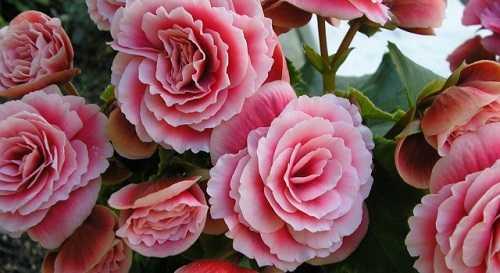 Цветок бегония: приметы и суеверия, можно ли держать дома