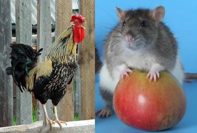 Петух и Крыса: совместимость в любви