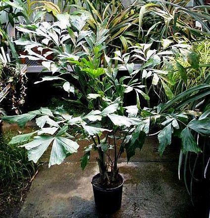 Пальма в доме: приметы и суеверия, можно ли держать, финиковая