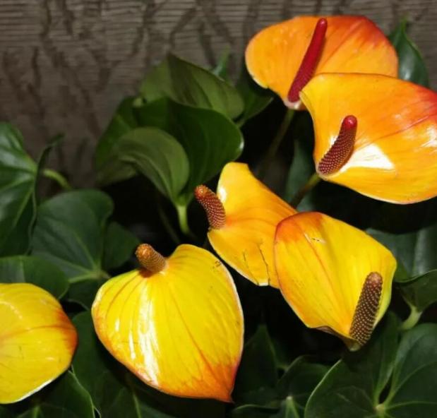 Цветок антуриум: приметы и суеверия, мужское счастье, для женщин